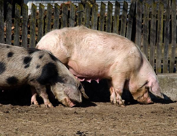j w pigs